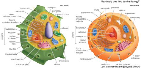 diagram of plant cell and animal cell draw and structure of typical animal cell animal cells vs