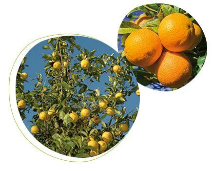 concime per agrumi in vaso concime per agrumi prestobio