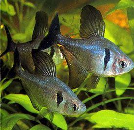 ikan tetra aquascape black phantom tetra