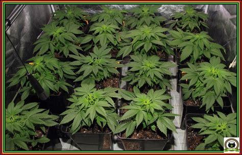 plantar marihuana en interior maceta elegir la mejor maceta para tu cultivo de marihuana