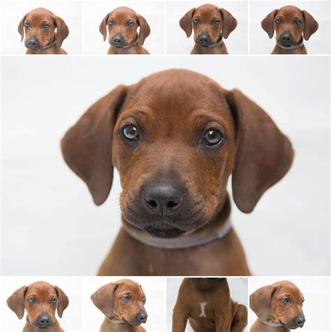 rhodesian puppy rhodesian ridgeback puppies