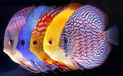 vasca discus symphysodon discus tropical fish for wallpaper hd mobile