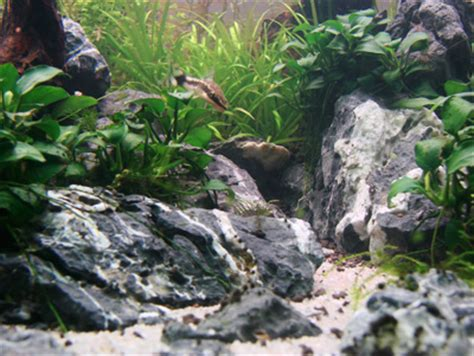 Aquascaping With Rocks by New Seiryu Help Aquascaping World Forum