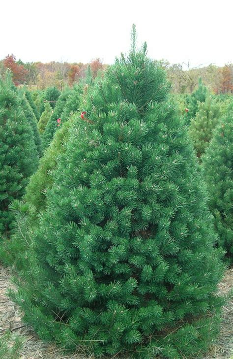 christmas trees northern family farms
