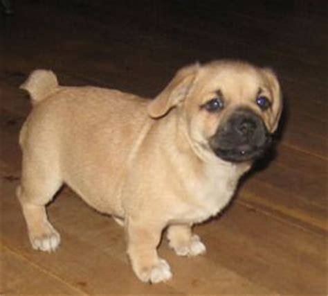 corgi and pug 15 pug cross breeds you ve got to see to believe