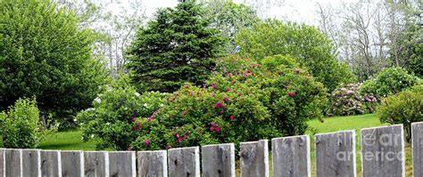 medium sized trees for front yard beautiful front yard roses trees photograph by barbara