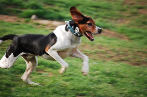 treeing walker puppies running treeing walker coonhound photo and wallpaper beautiful running treeing