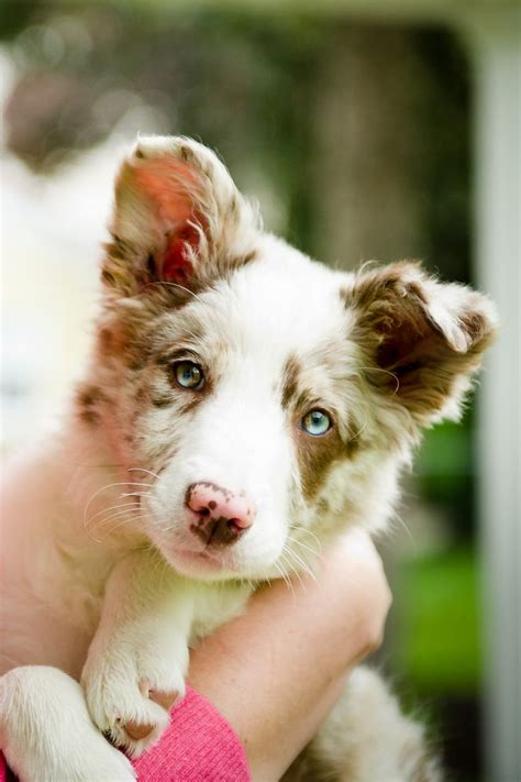 merle border collie puppies best 25 collie puppies ideas on