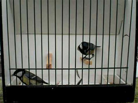 bocca di gabbia gabbia per cinciallegre yahoo answers