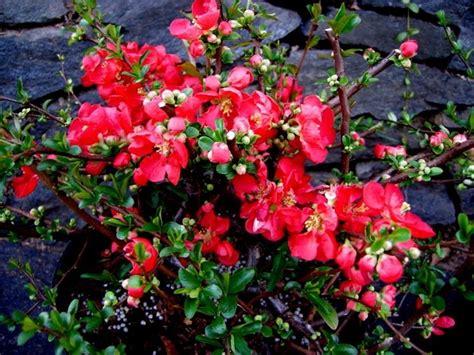 fiori di pesco giapponese fior di pesco cydonia chaenomeles speciosa