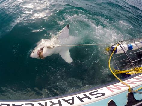 great white shark dive should you go cage diving with great white sharks