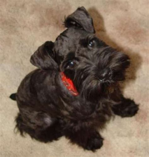 black miniature schnauzer puppies 17 best ideas about black schnauzer on schnauzers miniature schnauzer and