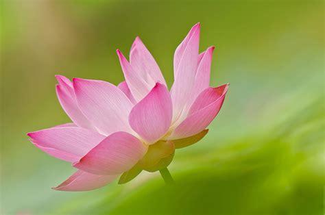 lotus flower colors photo pink color flowers lotus flower closeup