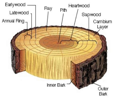 cross section tree how to determine the age of a tree know it all