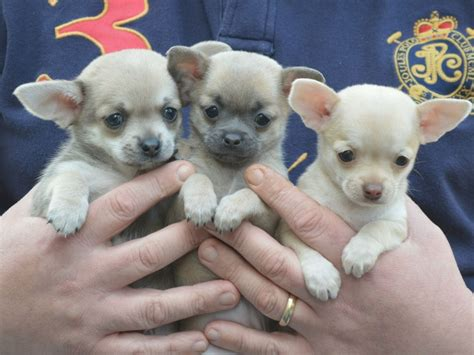 pitbull puppies for sale mn teacup chihuahua for sale in mn