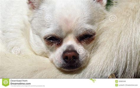 white rescue white chihuahua small rescue stock photo image 42860348