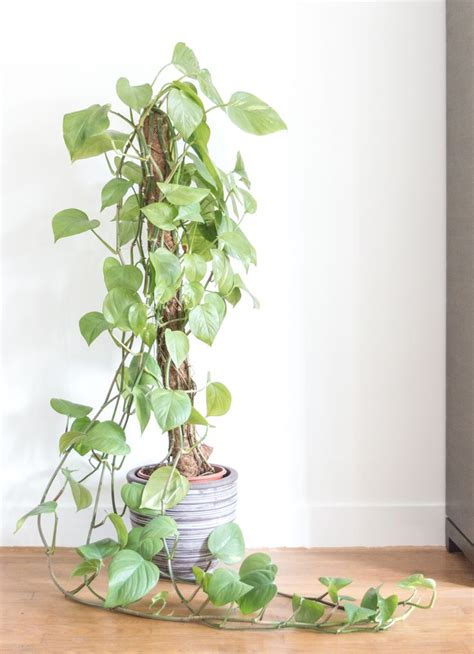 indoor vine plants 25 best ideas about pothos vine on pinterest kitchen