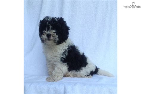maltipoo puppies for sale in nc panda malti poo maltipoo puppy for sale near wilmington carolina 89fd9825 14c1