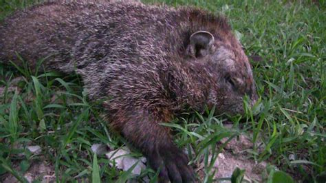 how to scout for groundhogs with trail cameras small