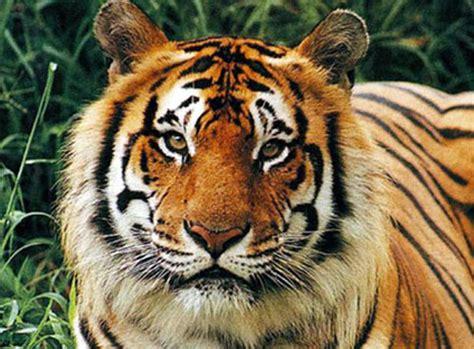 Harimaun Sumatera gambar harimau sumatra cinta bunga