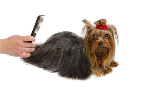 yorkie hair brush terrier grooming with brush stock photo image 22558968