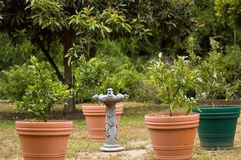 concime agrumi in vaso a di agrumi quando trapiantarli e rinvasarli