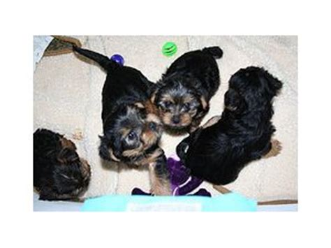 teacup yorkie for sale in pa teacup yorkie poo for sale in pa