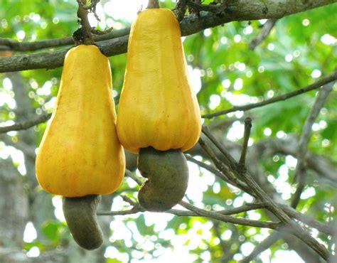 cashew nut fruit tree file cashew apples jpg
