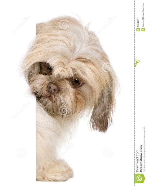shih tzu around shih tzu 3 years peering around stock image image 14847411