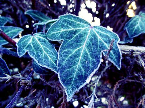 frozen leaves wallpaper frozen leaves by bouwland on deviantart