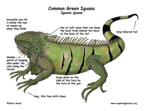 do iguanas change color iguana common green