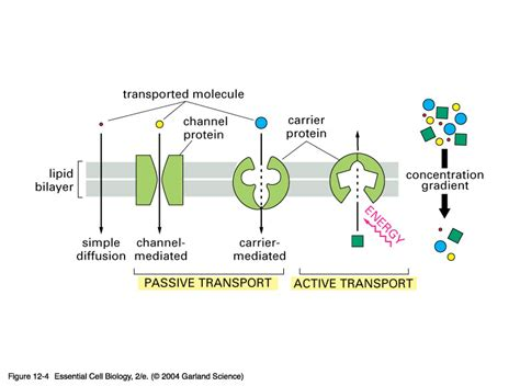 protein transport transport proteins