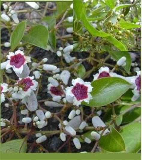 wallpaper bunga menjalar pokok herba bunga ulaman dan segala jenis tumbuhan daun