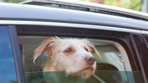wann sind hunde stubenrein hitze wann das auto f 252 r hunde zur todesfalle wird tiere