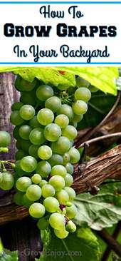 how to grow grapes in your backyard reuse grow enjoy