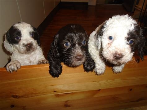 sproodle puppies for sale sproodle puppies for sale bristol bristol pets4homes
