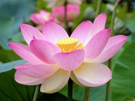 fior di lotto fiore di loto piante acquatiche coltivare fiore di loto