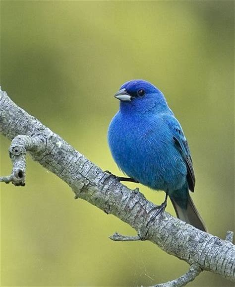 How To Attract Indigo Buntings To Your Backyard by 25 Best Ideas About Bunting Bird On Painted