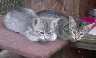 Pictures of bengal kittens pictures of animals 2016