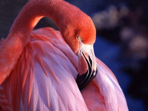 pink wallpaper with birds pink flamingo wallpaper birds animals wallpapers in jpg