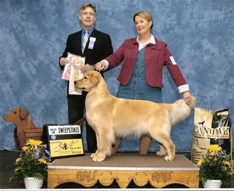 golden retriever puppies in sc golden retriever breeders near sc photo