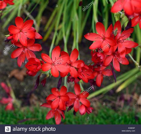 hesperantha schizostylis coccinea cindy towe red flower flowers stock photo royalty free image