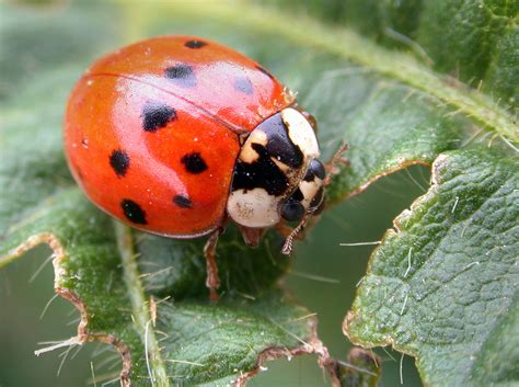 asian lady beetles set to return but their numbers are lower