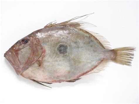 free coloring pages of john dory