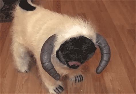 why pugs are 29 reasons why pugs are better than beyonce
