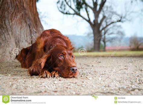 irish setter outside dog irish setter dog laying down on sand stock photo image