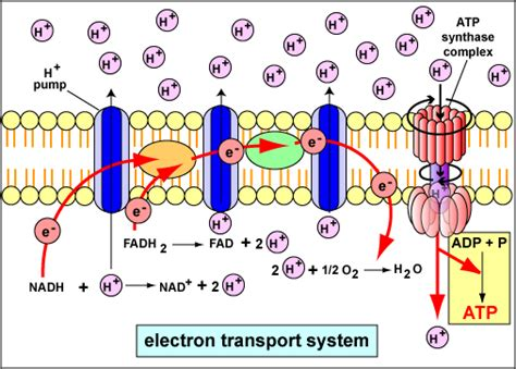 diagram and explain electron transport chemiosmotic phosphorylation