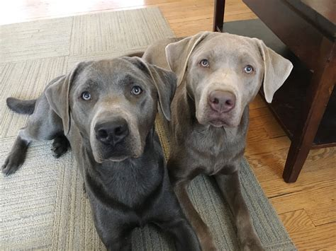 sixteen months at the gold diggings classic reprint books puppy tips and tricks help lab brothers behave