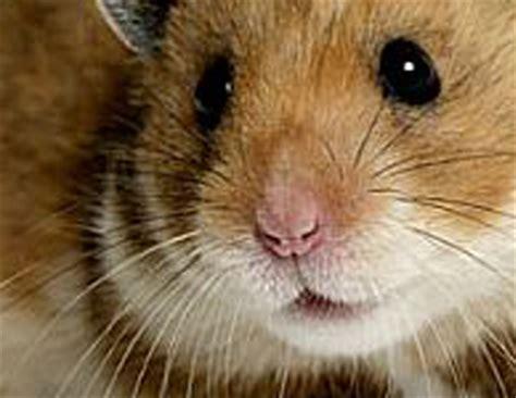 Hamster Syrian Hitam michikohamster
