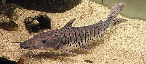 Ikan Lele Sale Ikan Lele Salai tiger shovelnose catfish care price growth rate guide